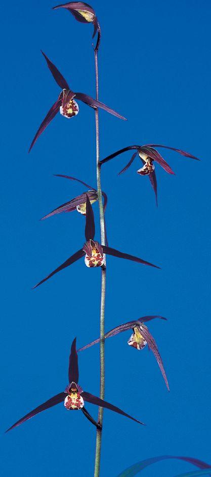 紅美鳥(こうびちょう)濃紅大輪 宮崎県産