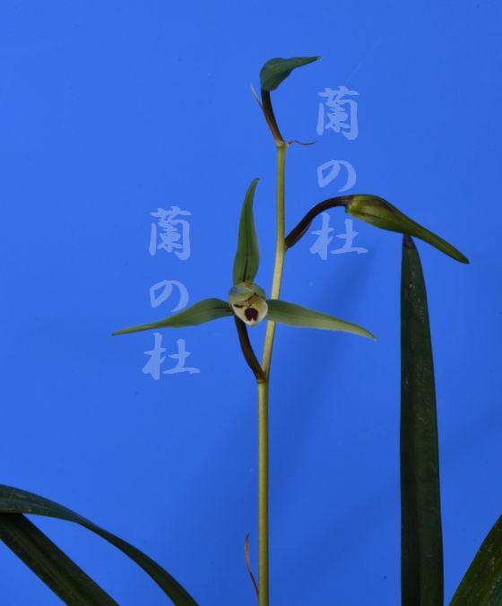 蒼天の星(そうてんのほし)青一文字大輪 高知県産